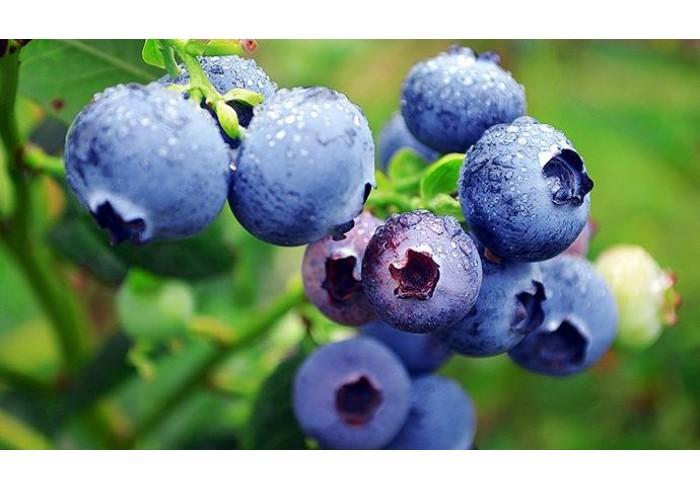 Мировой рынок ягод - Голубика