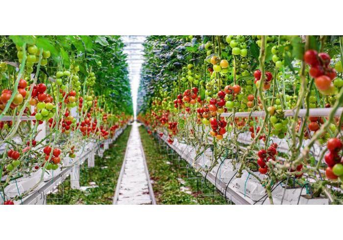 54️ тонны помидоров в неделю - это возможно