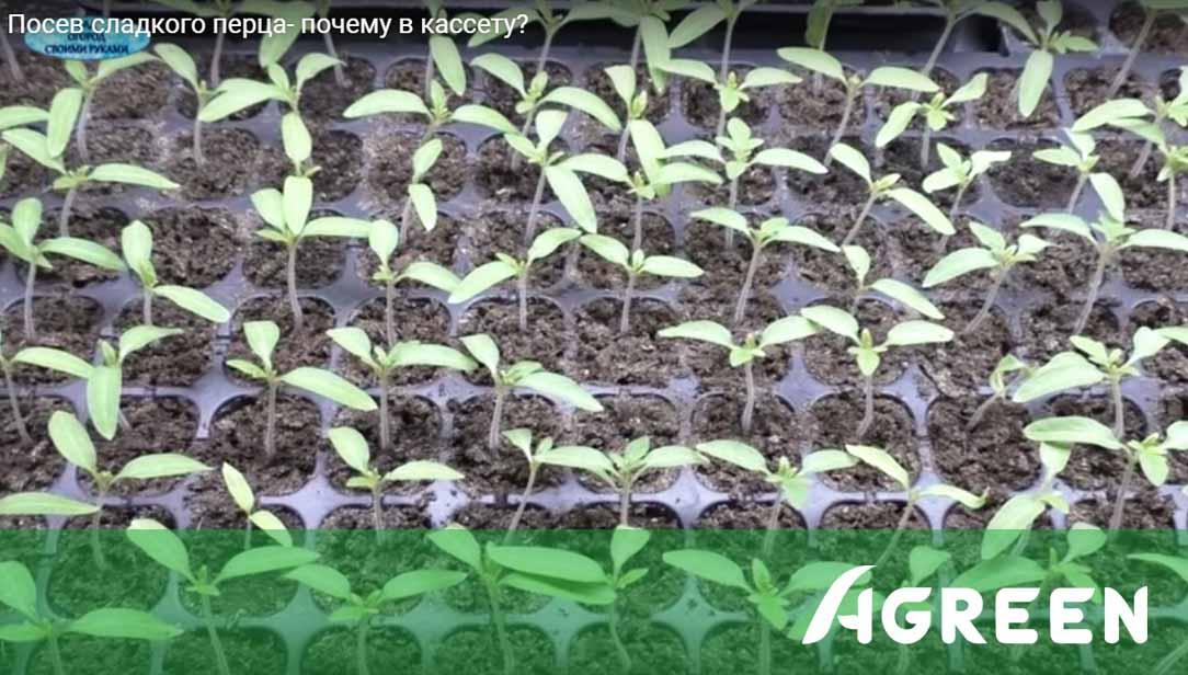 Досвід вирощування перцю в касетах для розсади Agreen