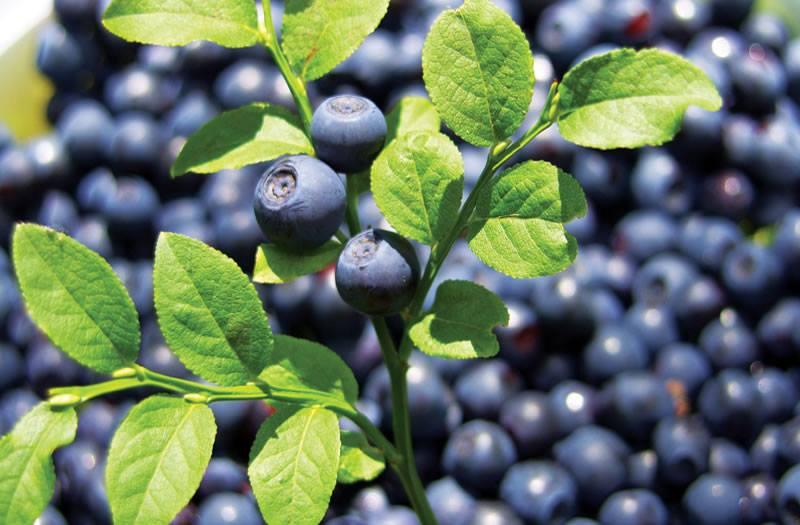 Черника - лидер экспорта мягких ягод в Украине