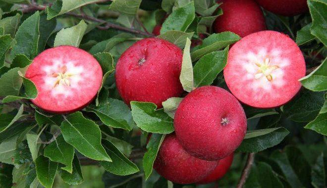 Яблоки с красной мякотью покорили Европу