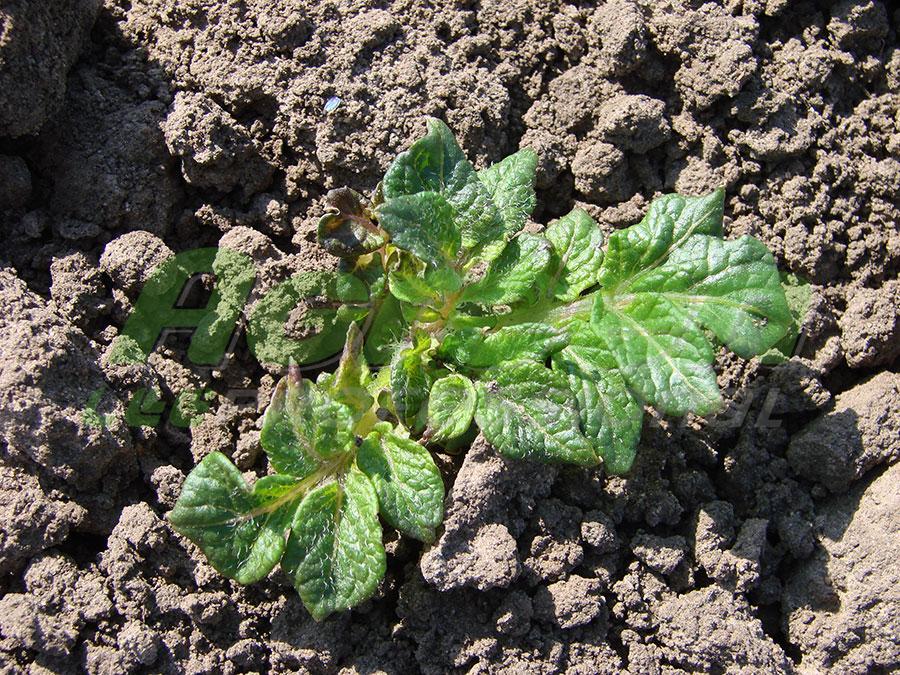 Применение агроволокна Agreen для выращивания картофеля