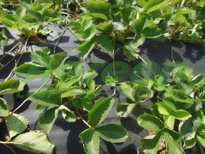 Применение агроволокна Agreen для выращивания клубники