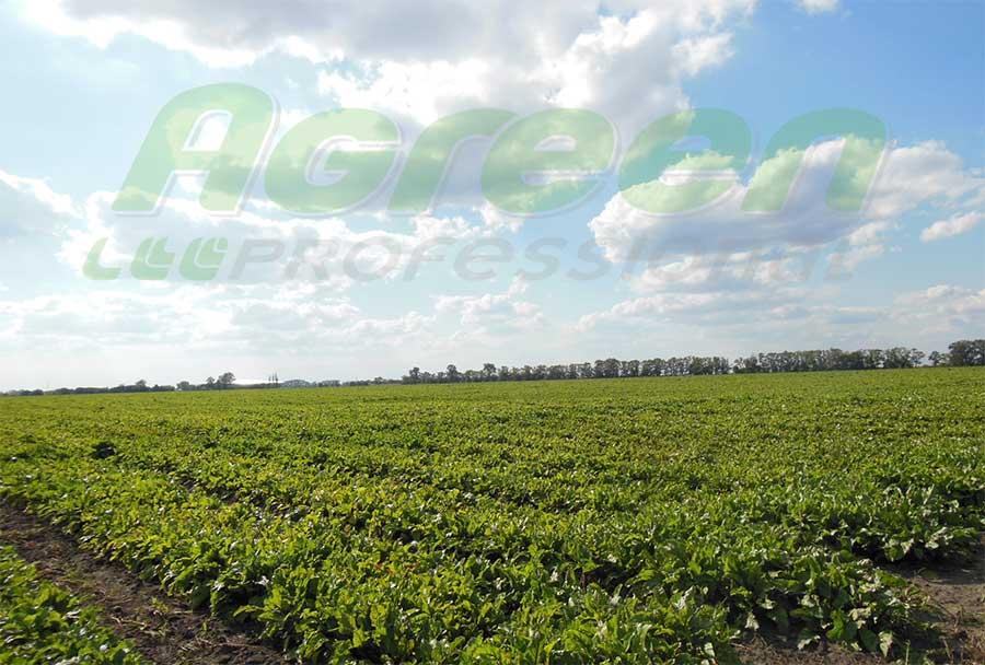 Выращивания свеклы под агроволокном Agreen