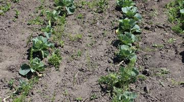 Применение агроволокна Agreen для выращивания капусты