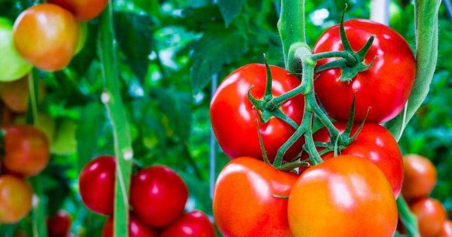 ТОП-7 цікавих фактів про томати