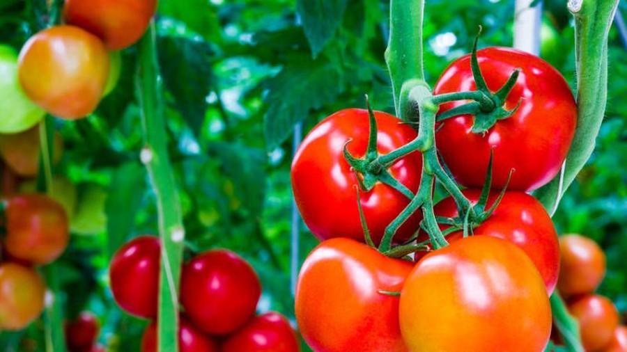 ТОП-7 интересных фактов о томатах