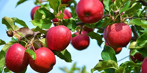 Рост цен на яблоки