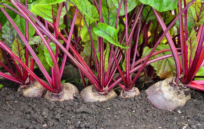 Применение агроволокна Agreen для выращивания свеклы