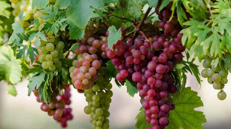 Применение агроволокна Agreen для выращивания винограда