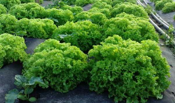 Применение агроволокна Agreen для выращивания салата