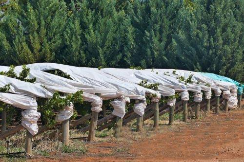 Застосування агроволокна Agreen для вирощування винограду